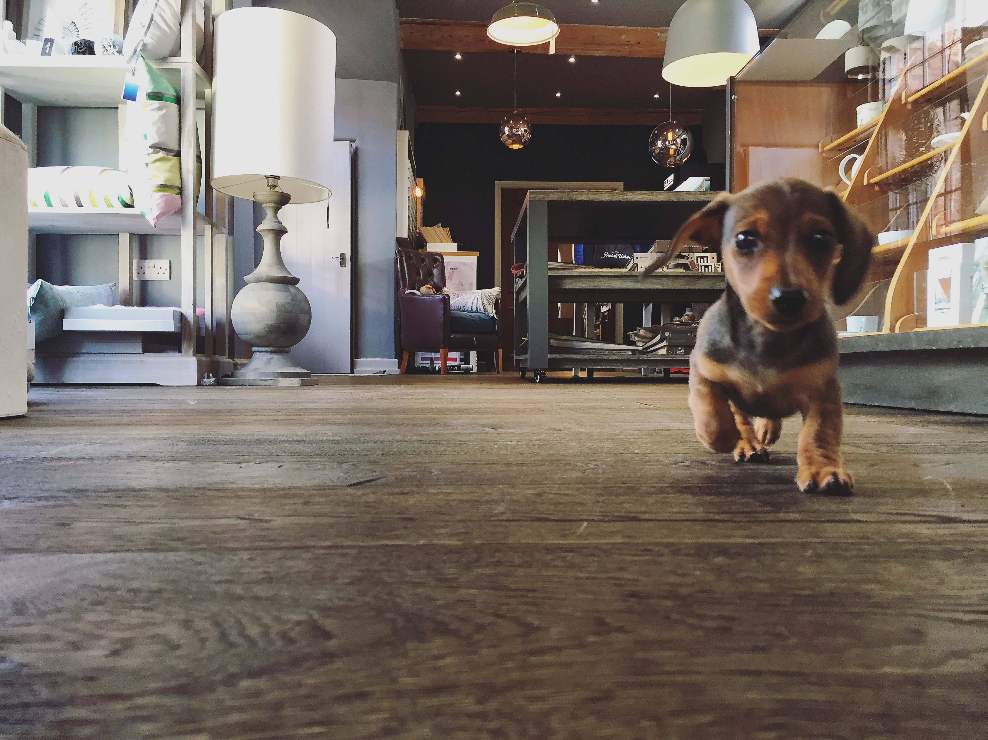 A small sausage dog running through an independent shop